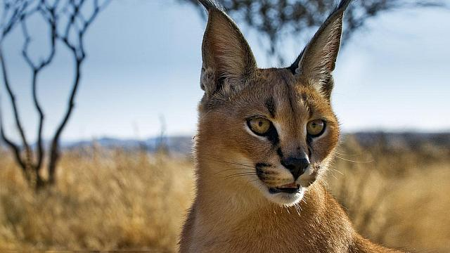 Young caracal in a wildlife sanctuary near Windhoek, Namibia (© Ignacio Palacios)