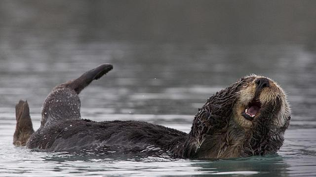 Sea otter grooming in Prince William Sound, Alaska (© Donald M. Jones)