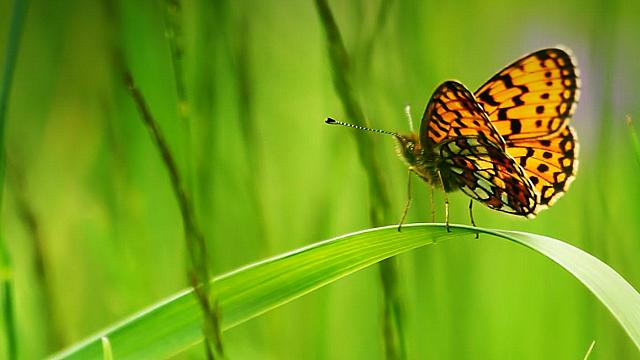 Fritillary butterfly sitting on a blade of green grass (© Clipcanvas)