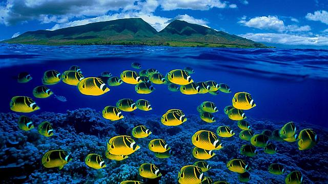 Composite image of raccoon butterflyfish underwater, Maui, Hawaii (© Pacific Stock-Design Pics/Superstock)