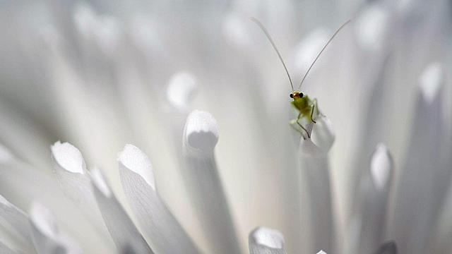 Green lacewing peering on petals (© David Maitland/Getty Images)