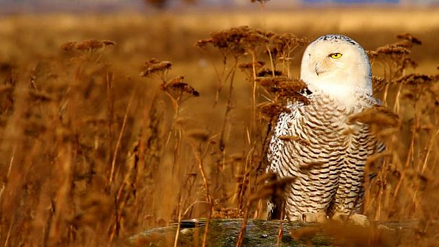 Snowy owl wintering at Boundary Bay, British Columbia, Canada (© Stephen Matera)