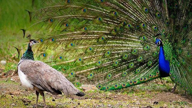 Female peahen observing a male peacock with his plumage out (© Dave Blackey)