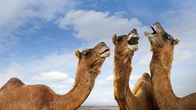 Camels braying at the Pushkar Camel Festival, Pushkar, Rajasthan, India (© John Lund/Stephanie Roeser/Getty Images)