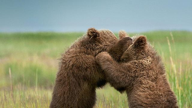 Two brown grizzly bears cubs, Alaska, U.S.A. (© Deb Garside)