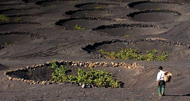 Vineyards growing in volcanic ash in La Geria on Lanzarote Island in the Canary Islands, Spain