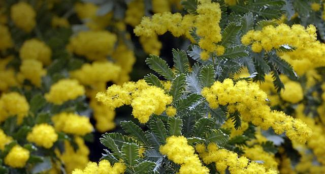 Bailey's Wattle Acacia flowers
