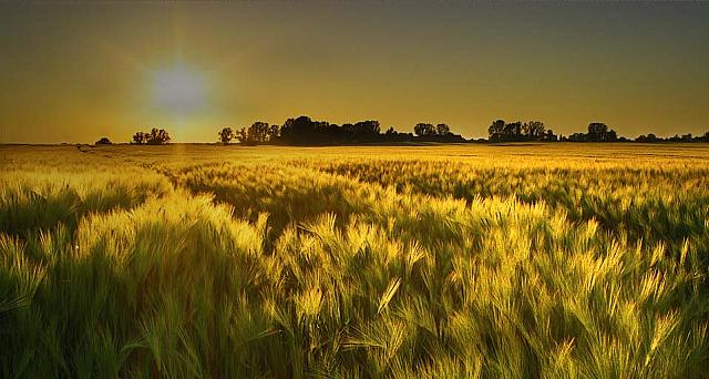 Barley field in the golden evening light