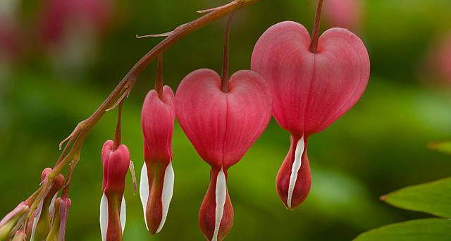 Dicentra (bleeding heart) plant