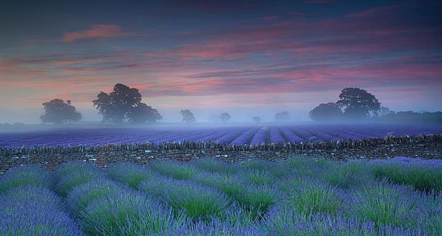 Lavender fields at dawn (© Antony Spencer/Getty images)