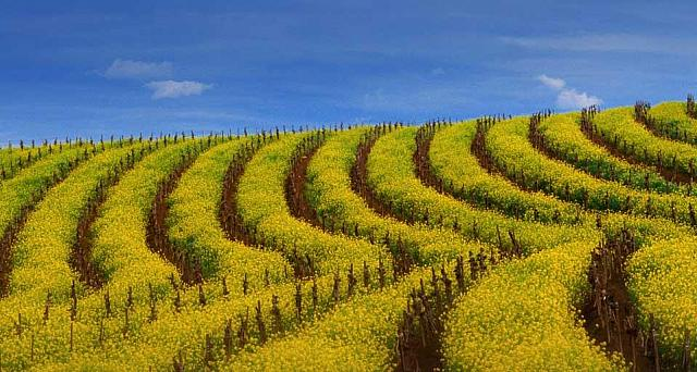 Mustard rows during springtime in a vineyard of the Carneros wine region, California (© Nicholas Pavloff)