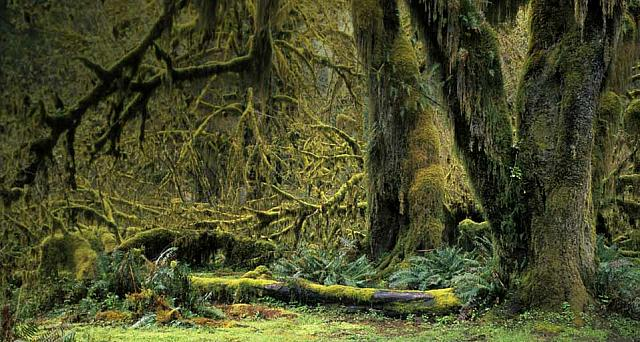 Trees overgrown with moss, Hoh Rain Forest in Olympic National Park, Washington