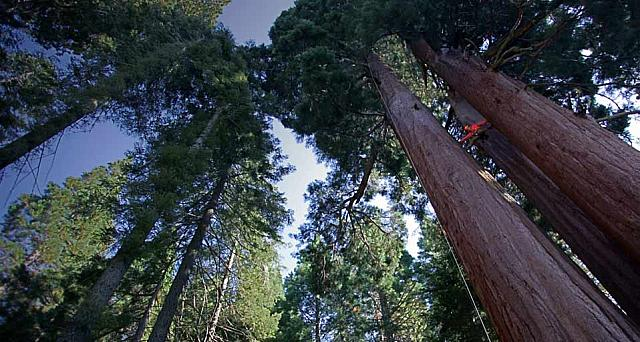 Sequoia tree, California