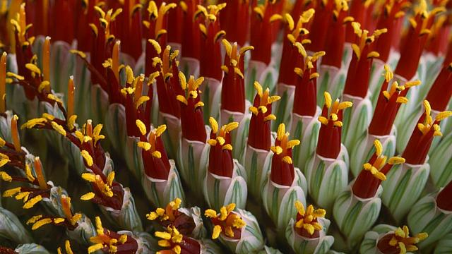 Abstract close-up of flower spike, aloe spicata (© Nigel Downer/age fotostock)
