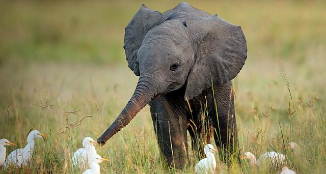 Juvenile African elephant with cattle egrets