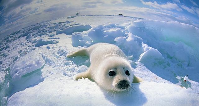 Baby seal lying on ice