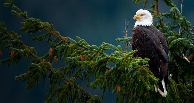 Bald eagle the Mendenhall Glacier in Juneau, Alaska