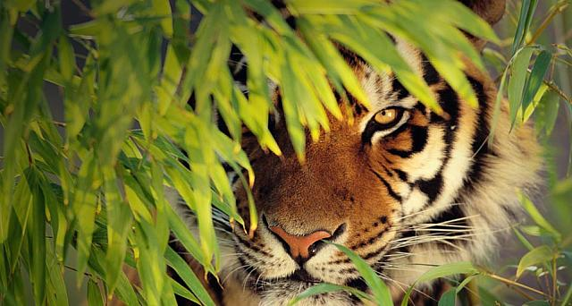 Bengal Tiger hiding behind leaves