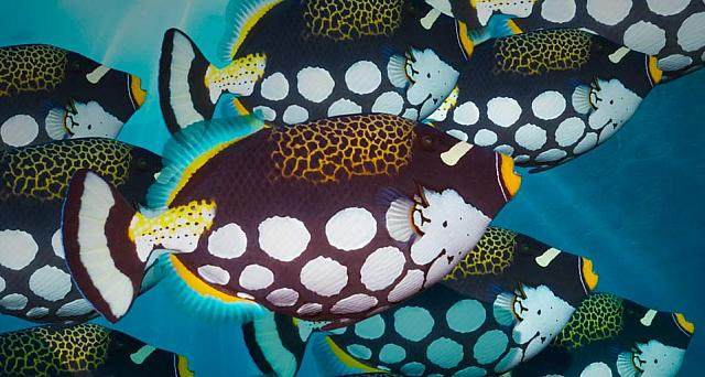 Clown triggerfish off the coast of Bunaken Island, Sulawesi, Indonesia