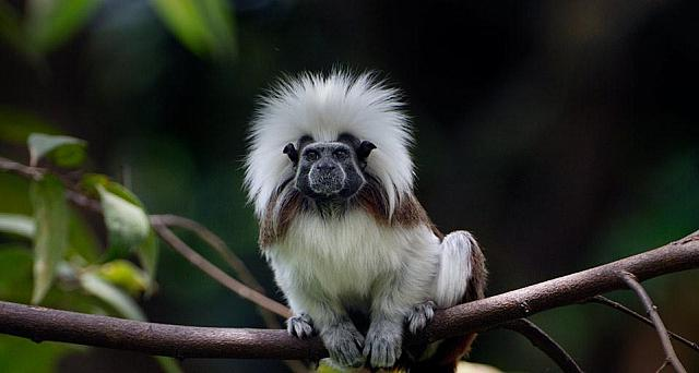 Cotton-top or Pinché; tamarin of northern Colombia