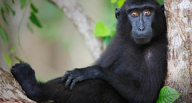 Celebes Crested Macaque resting in tree