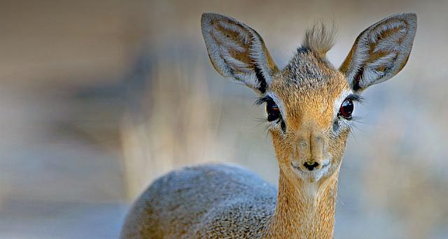 Close up of a Damara dik-dik (Madoqua kirkii) from Eotska National Park, Namibia