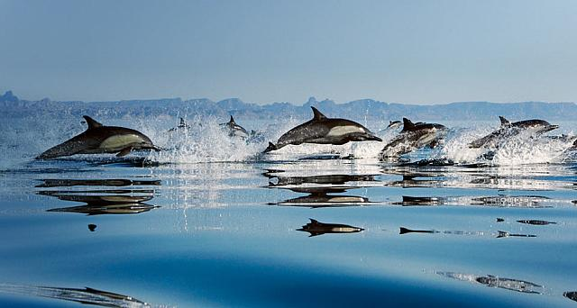 Common Dolphins (delphinus delphis) in the Gulf of California,  Mexico