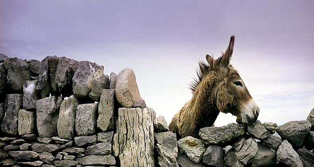 Donkey looking over an ancient rock wall in Ireland