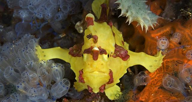 A frogfish off the coast of Apo Island, Negros, Philippines
