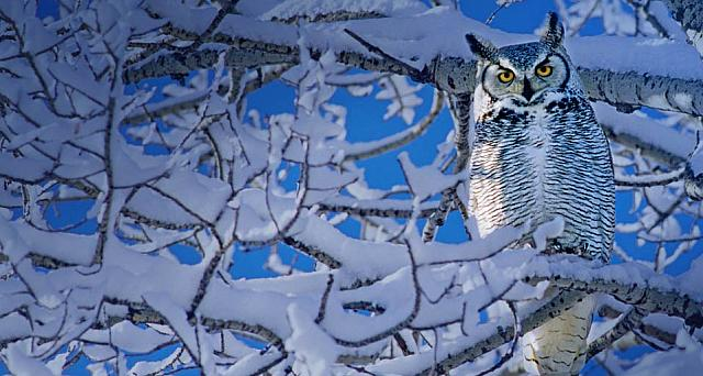 Great Horned Owl in Alberta, Canada
