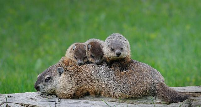 Groundhog family in a green meadow near Ontario, Canada