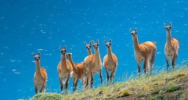 A herd of guanacos (Lama guanicoe) in southern Patagonia, Torres del Paine National Park, Chile