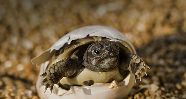 Hermann's Tortoise hatching out of its egg