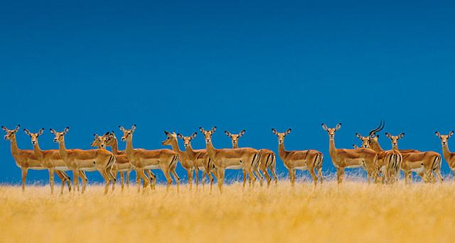 Alarmed impalas herd alert to danger in the Serengeti National Park, Tanzania