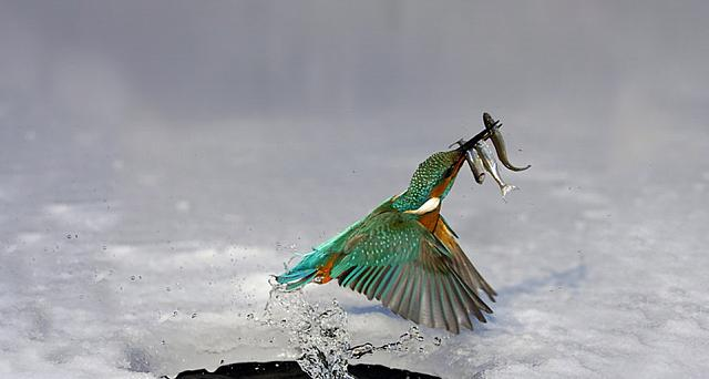 Kingfisher popping out of the water with his catch in his bill