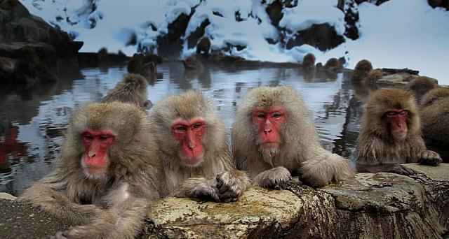 Japanese macaque monkeys in the Jigokudani Nature Reserve, Chubu, Japan