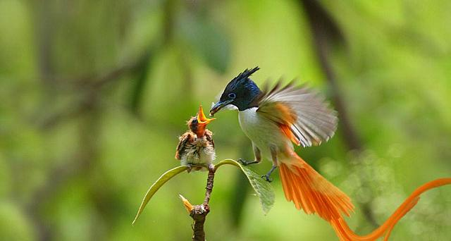 An adult male Asian paradise flycatcher feeding a chick (© mcb bank bhalwal)