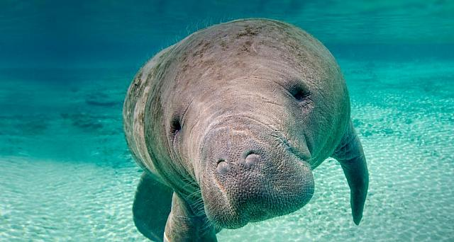 Florida manatee in the Crystal River, Florida