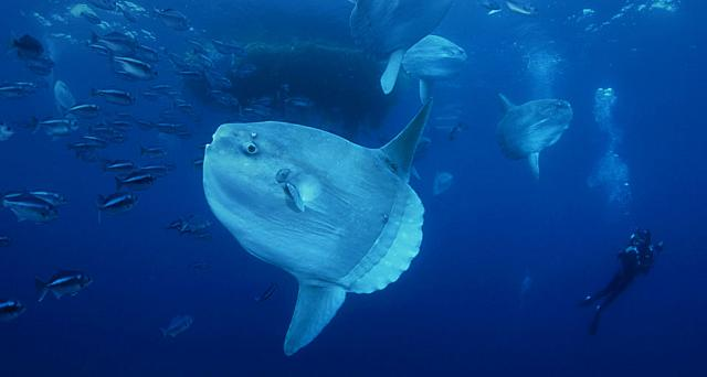 Ocean Sunfish gather at a ocean cleaning station