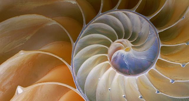 Cross section of chambered nautilus