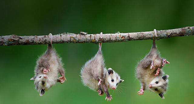 Opossums from Ontario, Canada
