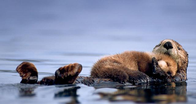 A female sea otter floats with a newborn pup resting on her chest in Prince William Sound, Alaska