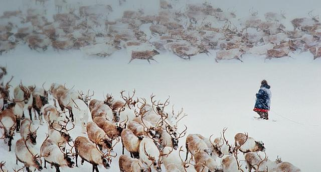 Reindeer and Chukchi reindeer herder in snow of Siberia, Russia