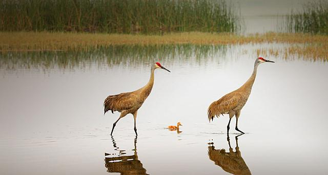 Sandhill Crane pair and chick in Florida