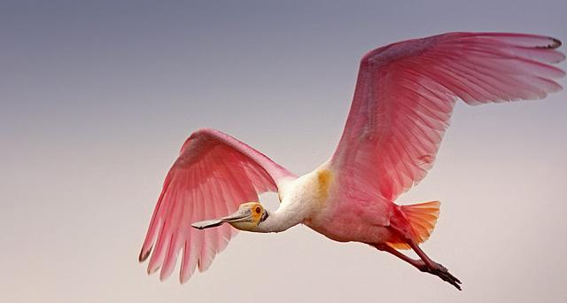 Breeding plumage of the Roseate Spoonbill