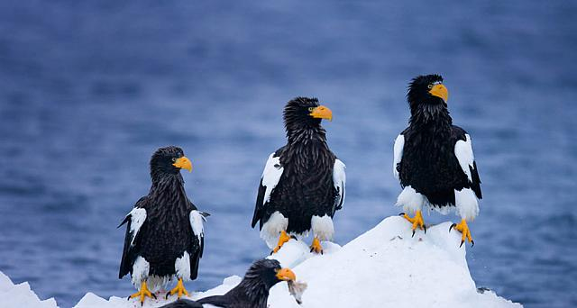Steller's Sea Eagles on drifting ice near Rausu, Japan
