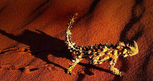 A Thorny Devil lizard walking on a red sand dune near Alice Springs, Australia