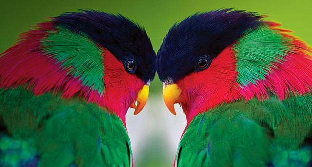 Two collared lories