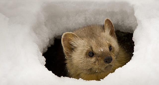 Pine marten peeking from an ice hole