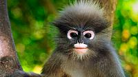 Dusky leaf monkey, Khao Sam Roi Yot National Park, Thailand (© Thomas Marent/Visuals Unlimited/Corbis)